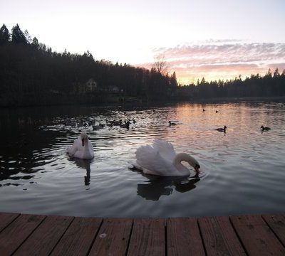 Much Ado About A Mute Swan – Part 3