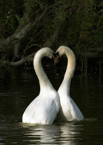 Much Ado About A Mute Swan – Part 4