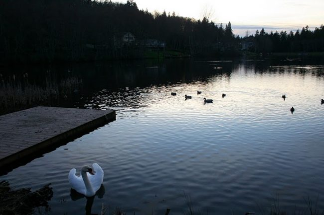 Much Ado About A Mute Swan, Part 12