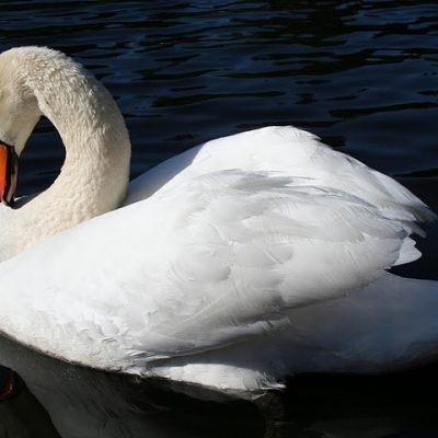 Much Ado About a Mute Swan: Part 18