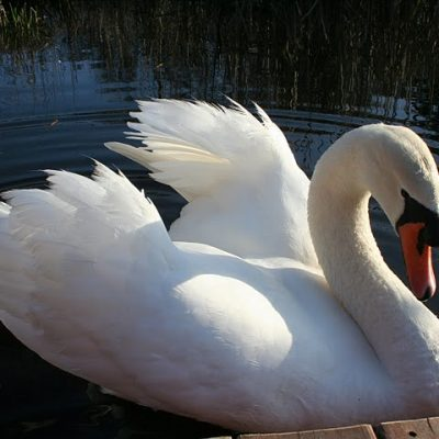 Much Ado About a Mute Swan: Part 17