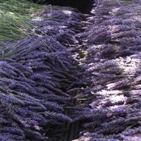 Organic Lavender Lotion Review – Keys Creek Lavender Farm