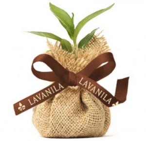 lavanila plant a tree