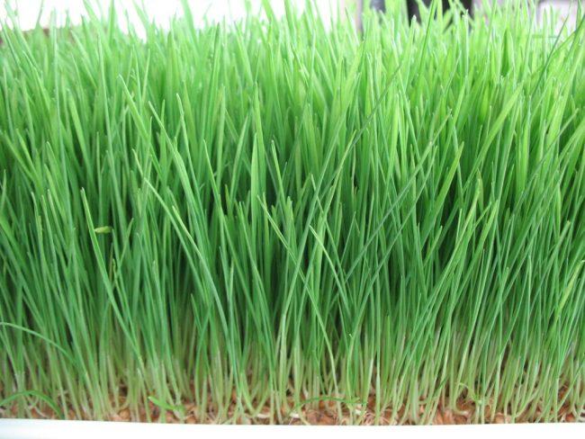 wheat-grass-greens-health
