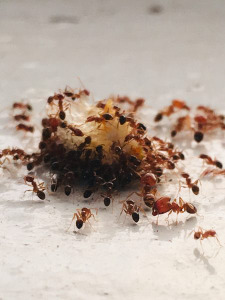 How Do You Get Rid of Ants in Your Kitchen?