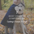7 Most Common Symptoms Of Cushing's Disease In Dogs